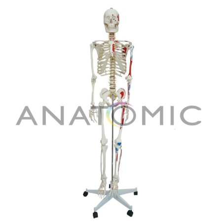 Esqueleto 168 cm, Articulado, com Inserções Musculares, Suporte e Base com Rodas - TGD-0101-AN