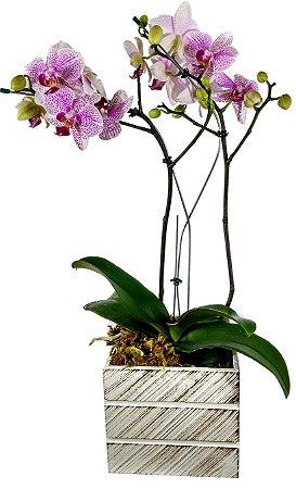 Orquídea Phalaenopsis no Cachepô
