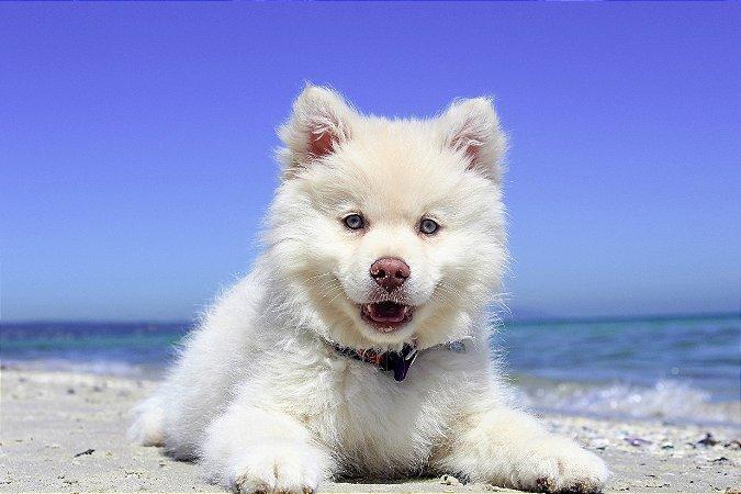 Quadro Decorativo Poster Cachorro Praia