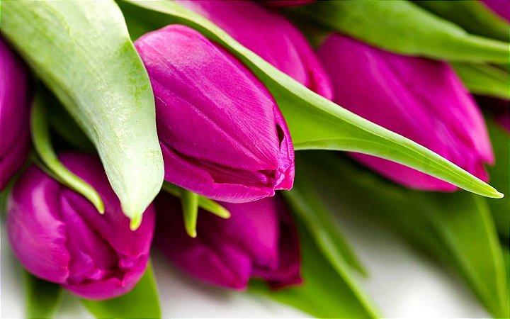 Quadro Decorativo Poster Tulipa Rosa