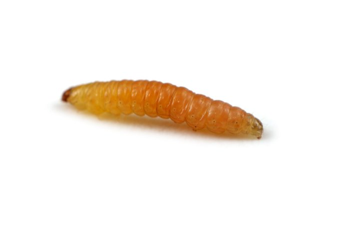 Homeo – Controle Larva Minadora