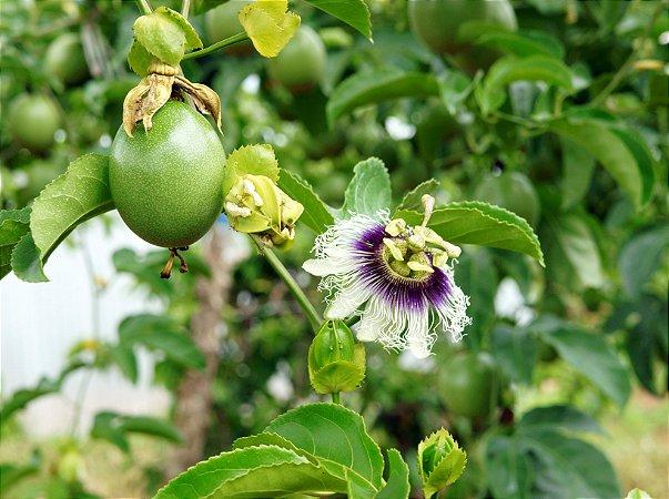 Homeo – Indutor e Fixador de Flores e Frutos