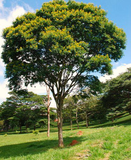Muda de pau-ferro ou  madeira de ferro brasileira(Libidibia ferrea)