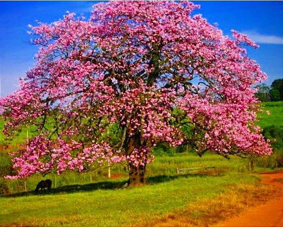 Muda de Paineira Flor rosa  - Chorisia speciosa