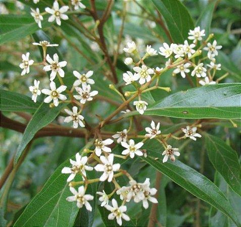 Muda Canela-amarela Nectandra lanceolata