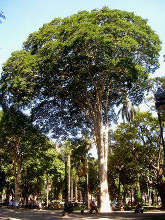 Muda Canela-garuva - Nectandra rigida (H.B.K.) Nees