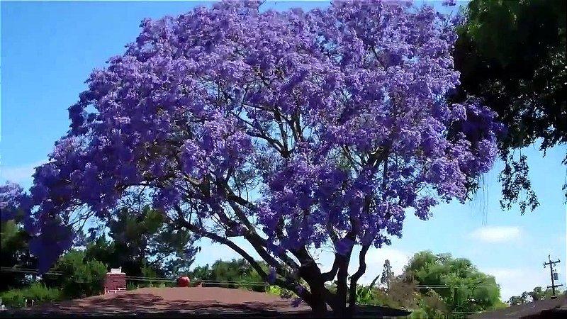 Muda de Caroba  Flor Roxa - Jacaranda macrantha