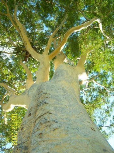 Muda de Pau Marfim  (Calycophyllum spruceanum.)