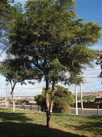Muda Cereja do Rio grande