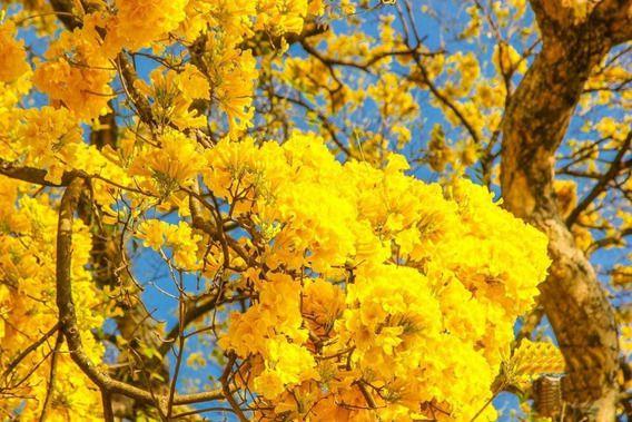 Muda Ipê Amarelo Do Brejo, Ipê da Várzea (tabebuia Umbellata)