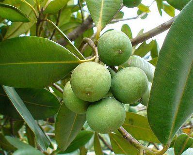 Muda de Guanandi - Calophyllum brasiliensis P