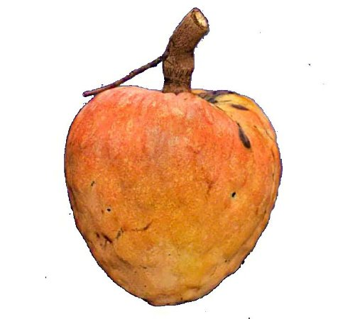 Muda  Condessa ( Annona reticulata ) Doce