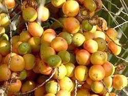Butiazeiro (Butia capitata)
