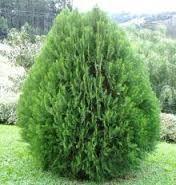 Muda de Cipreste Tuia Verde
