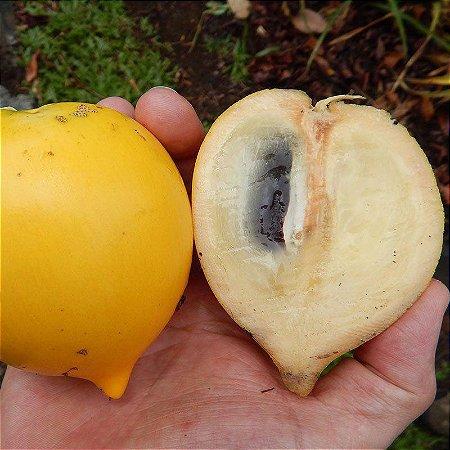 Muda Abiu Amarelo (Pouteria caimito)
