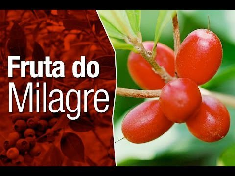 Muda de Fruta do Milagre - Miracle Fruit