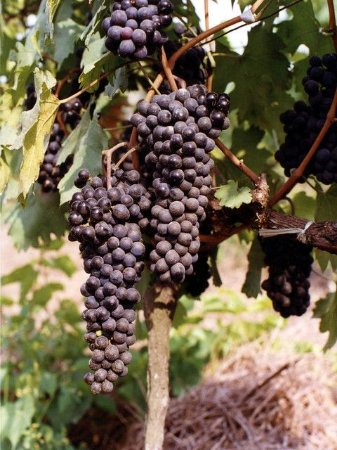 Muda Uva  Couderc  ou Seibel Pica  Longa- Rara Cachos compridos(doce)