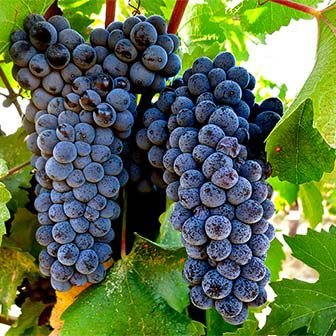 Uva Pinot Noir Muda Já Produz Com 80 Cm