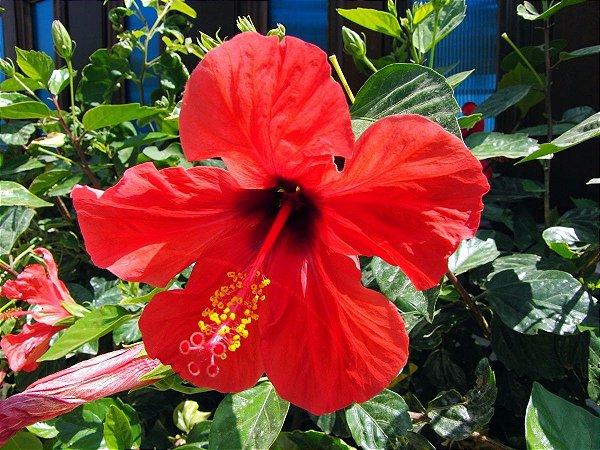 Muda de Hibisco - Hibiscus Vermelho-sinensis