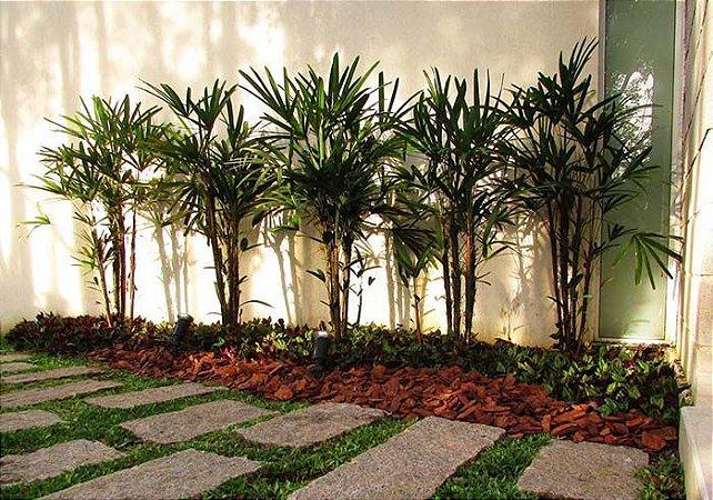 Muda da Palmeira Ráfiade semente - Rhapis Excelsa(folha mole)