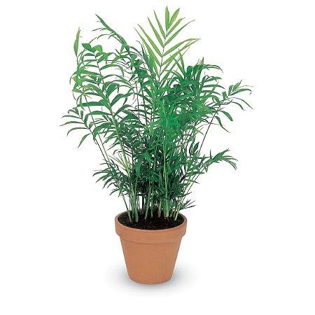 Muda Palmeira Chamaedorea
