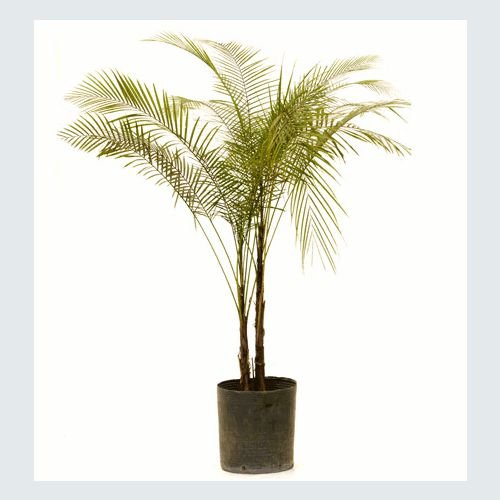 Muda Palmeira Coco Vedeliano