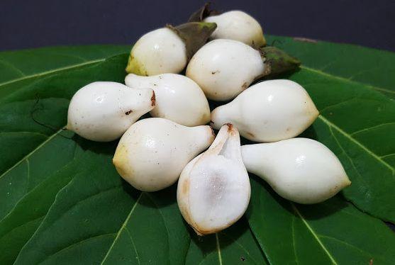 Muda Frutinha de Leite ( Cordia taguahyensis )