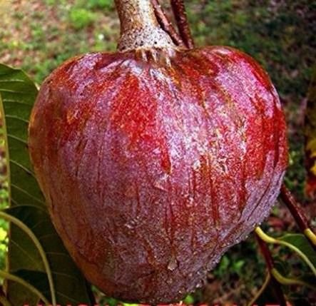 Muda de Pinha Do Asteca Vermelha doce