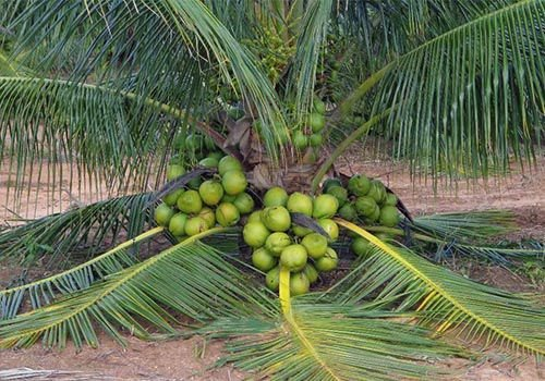 Muda de Coco Anão Precoce 1 metro
