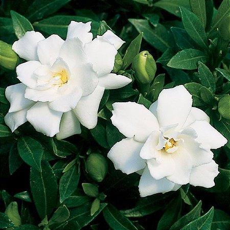 Muda Jasmim do Cabo (Gardenia jasminoides)