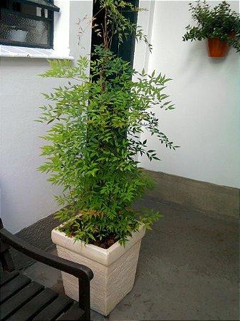 Muda Nandina ou bambu-celeste (Nandina domestica)