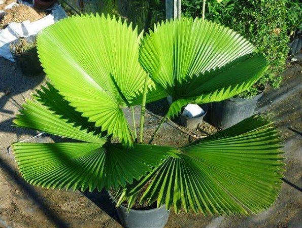 Muda Palmeira Licuala (Licuala grandis)