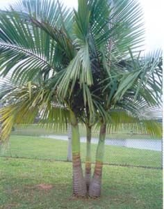 Muda Palmeira Real