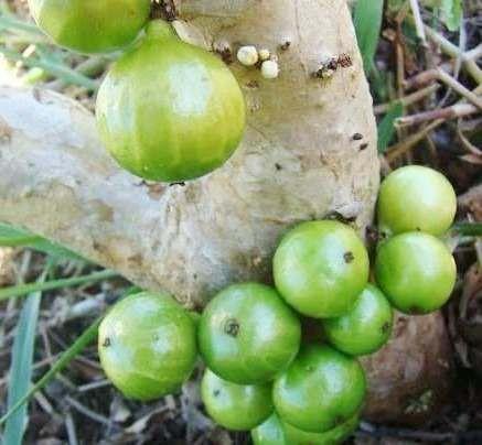 Muda de Jabuticaba Branca - Myrciaria Aureana