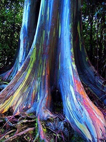 MUDA EUCALIPTO ARCO-IRIS (Eucalyptus deglupta)