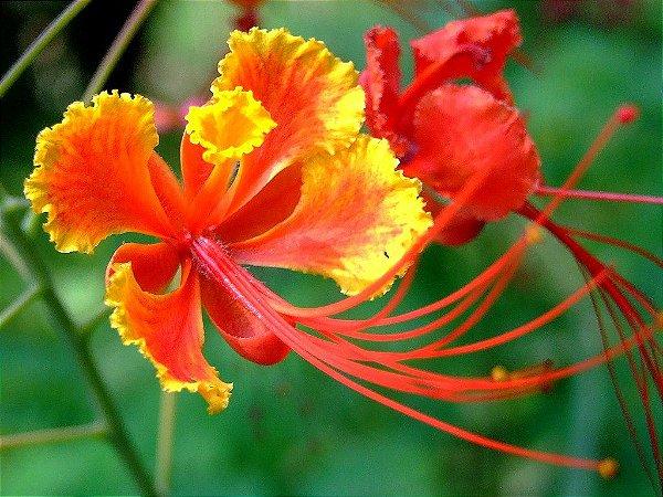 Muda de  arvore flor Flamboyant