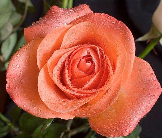 Muda Rosa Salmão Enxertada