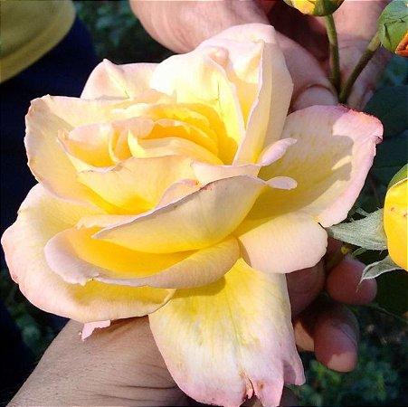 Muda Rosa Amarela Mesclada Enxertada Preste a dar flor
