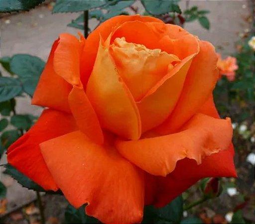 Muda Rosa Laranjada Enxertada Preste a dar flor