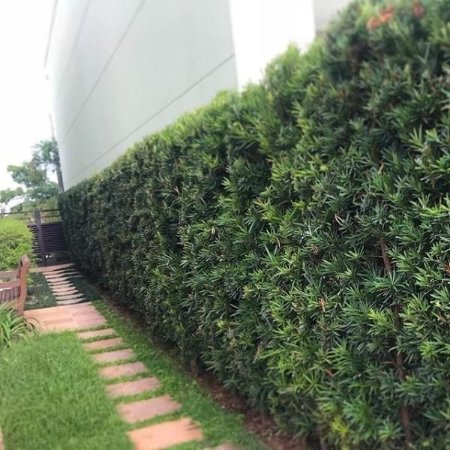 kit 5 Muda Podocarpos  60cm - Podocarpus Macrophyllus