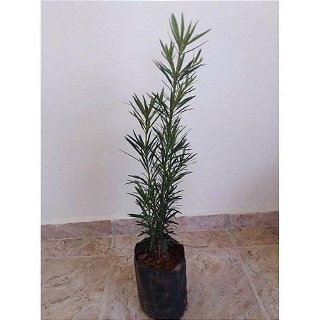 Muda Podocarpos  60cm - Podocarpus Macrophyllus