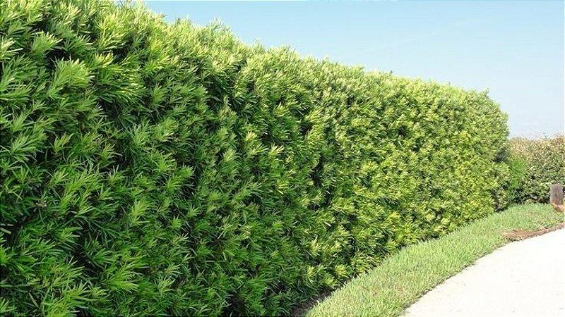 Muda Podocarpos  30 a 50cm - Podocarpus Macrophyllus