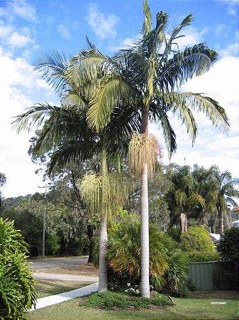 kIT 10 Mudas Palmeira Real 50 CM