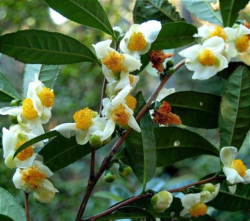 Muda de Camélia Sinensis - Chá Verde
