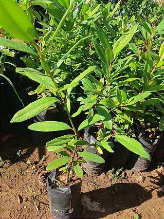 Muda de Pimenta da Jamaica