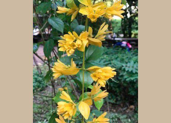 Muda Brinco de Ouro - Petraeovitex bambusetorum