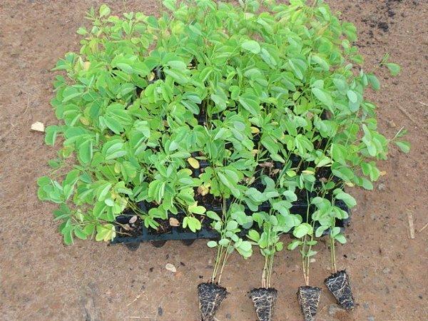 Kit 25 mudas Sansão do campo (Mimosa caesalpiniifolia0 cerca viva