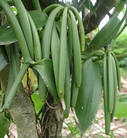 MUDA BAUNILHA (Vanilla planifolia)