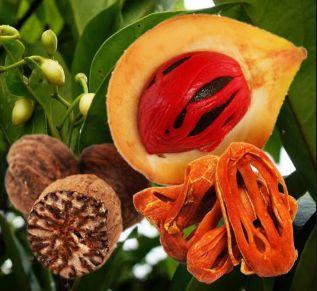 Muda Noz-Moscada (Myristica fragans)