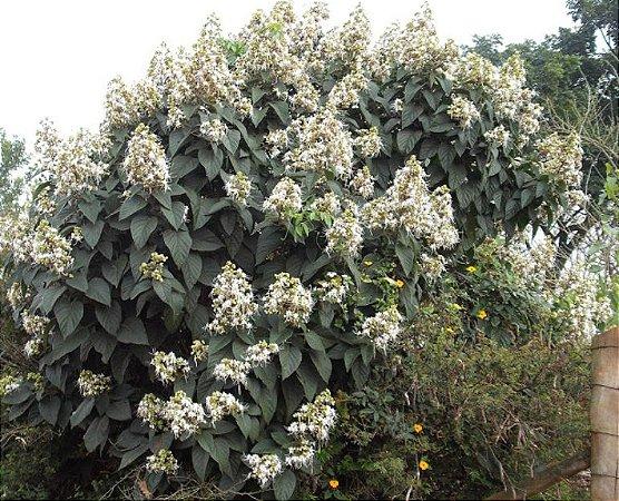 Muda Clerodendro Branco perfumado